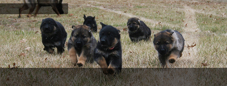 Zwinger Von Der Bauerhof German Shepherd's Upcoming Litters