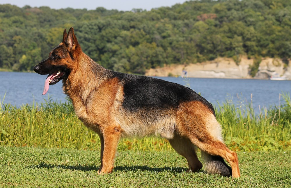 Upcoming Litters of German Shepherd Puppies in Kansas